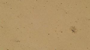 Cangrejo albino sobre la arena / Aceytuno