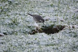 Lavandera (Motacilla alba) mirando en el interior de la huella de un caballo en la nieve / Aceytuno