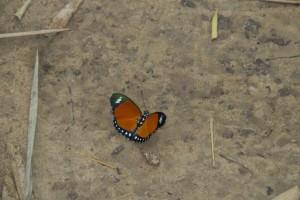 Mariposa congoleña