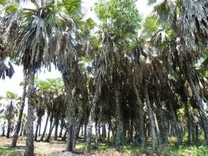 Palmeras de la familia Arecaceae / Autor: Paco
