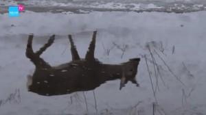 Corza en la nieve mirándose en el espejo del agua /  AQUAE TV