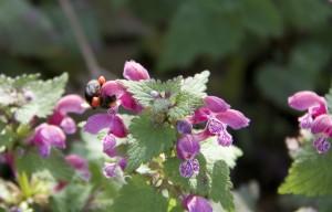 Cestas de polen naranja de la ortiga mientras el abejorro sigue libando/ Aceytuno