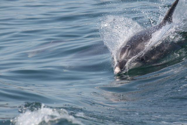 Pardelas y delfines