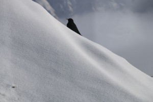 Chova piquigualda posada en la nieve / Los Alpes / Aceytuno