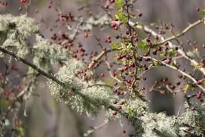 Majuelas rojas del espino blanco con líquenes al fondo / Aceytuno