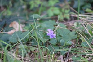 Violeta / Aceytuno
