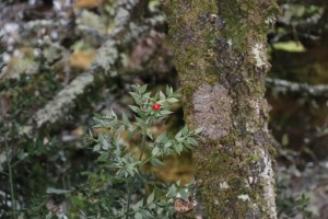 Ruscus aculetatus, fruto rojo / Aceytuno