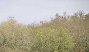El bosque alrededor con su nube verde de yemas abiertas / Aceytuno