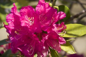 Rododendro como los que había en la casa de la cascada de F.Lloyd W./ AceytunoAceytuno