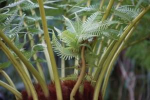 Brote de helecho  arborescente  que parece traído de otra Era del tiempo/ Aceytuno