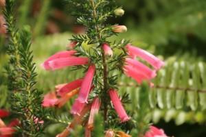 Erica hiemalis / Aceytuno / Esos brezos que salen, rojos, fucsias, rosas, en los montes  tras los incendios / Aceytuno
