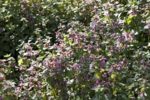 El sol sobre el rodal de ortigas hediondas florecidas