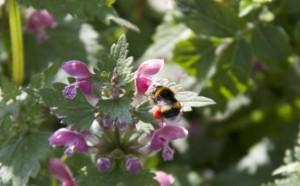 Primer plano del abejorro hembra libando con las cestas donde guarda el polen / Aceytuno