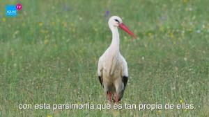 Cigüeña blanca / AQUAE TV / Fundación AQUAE