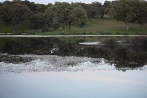 Dehesa de encinas al borde de la laguna florecida de ranúnculos blancos flotando / Aceytuno