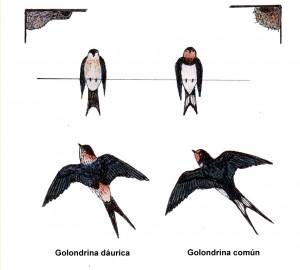 Golondrina Coún y Golondrina Dáurica / Antonio Morcuende Bachiller