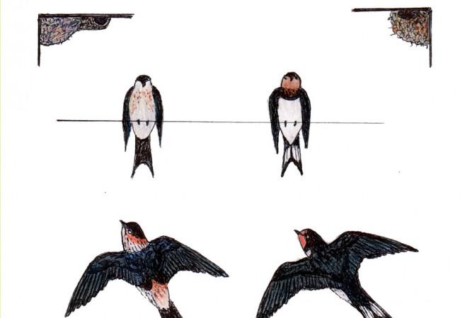 ¿Sabías que las golondrinas navegan para no tener que volar más?
