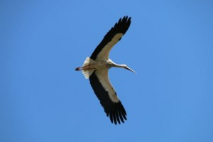 Cigüeña blanca en vuelo /  Aceytuno