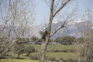 Nido de cigüeña sobre álamo con la sierra de Guadarrama al fondo / Aceytuno