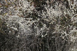Espino blanco (Crataegus monogyna) / Aceytuno