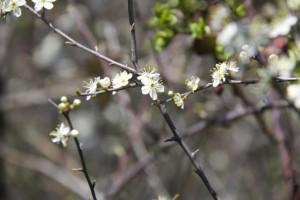 Flor del espino blanco (Crataegus monogyna) / Aceytuno