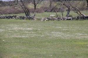 Rodales de belloritas florecidas de blanco sobre la hierba / Aceytuno