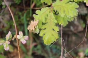 Hoja madura de roble melojo (Quercus pyrenaica)  / Aceytuno