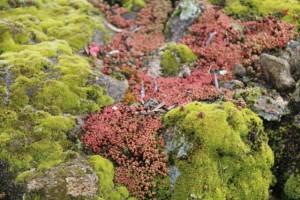 Muros de piedra,  cubiertos de musgo y sedum rojizos / Aceytuno