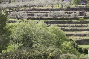 Cerezos florecidos al fondo,  en terrazas de piedra / Aceytuno