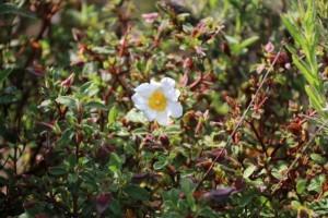 Flor blanca como una mano abierta de la jara / Aceytuno