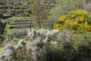 Composición floral de escobas, cantuesos y retamas / Aceytuno