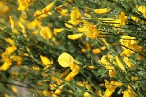 Retama de flores papilonadas, con forma de mariposa, amarillas / Aceytuno