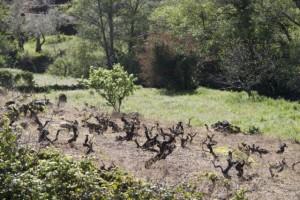 Cepas oscuras como cuervos del viñedo / Aceytuno