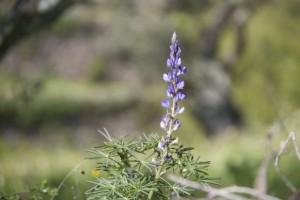 Flor de ¿Lupinus? bajo los olivos / Aceytuno