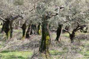 Olivos cubiertos de musgo con el ramón de la última poda todavía entre los pies / Aceytuno
