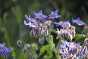 Sol sobre la flor de borraja / Aceytuno
