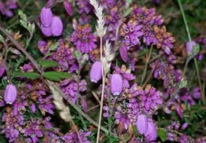 Flores urceoladas del brezo/ Aceytuno