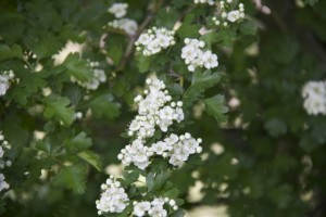 Espino majuelo florecido / Aceytuno