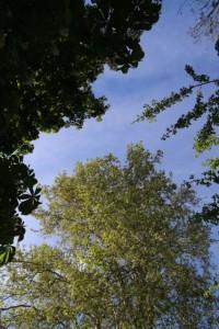Ramas del castaño, plátano y espino majuelo vistos desde el suelo / Aceytuno