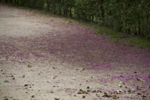 Pétalos de flores de Cercis siliquastrum sobre la tierra del camino / Aceytuno