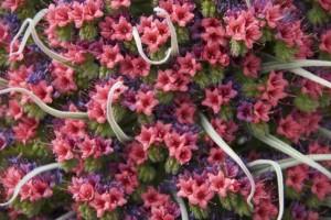 Las flores del tajinaste rojo son fucsias y malvas, tienen forma de campana y están entreveradas de hojas que se sitúan sobre todo en la base del tallo, haciendo una roseta / Aceytuno, mayo 2016