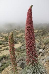 Tajinaste rojo (Echium wilpretii) florecido en el Parque Nacional del Teide / Aceytuno, mayo 2016