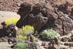 Convive la magarza con la hierba pajonera de flores amarillas que mueven más con el viento / Aceytuno