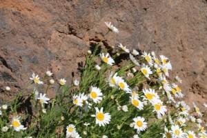 La magarza o margarita del Teide (Argyranthemum tenerifae)  no existe en ningún otro lugar del mundo, sólo en este excepcional enclave, y tiene doce flores alrededor del capítulo, haciendo la margarita/ Aceytuno
