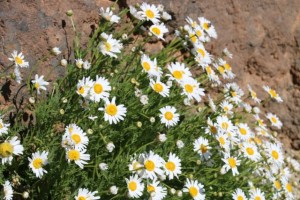 Magarza o margarita del Teide (Argyranthemum tenerifae) florecida sobre el malpaís/ Aceytuno