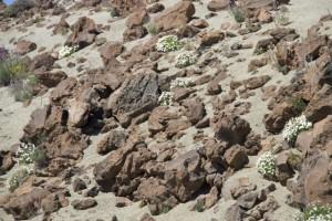 Magarza o margarita del Teide (Argyranthemum tenerifae)  en arbustos dispersos orientados al sur a resguardo del viento / Aceytuno