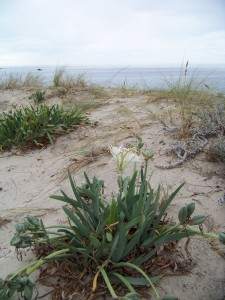 Azucena marina (Pancratium maritimum) / Aceytuno