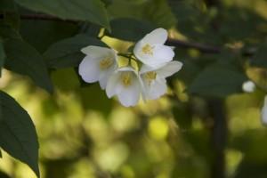 Celinda o cinamomo, blanco, discreto, oloroso. Sus hojas se pegan un poco a los dedos cuando te llevas un ramo / Aceytuno