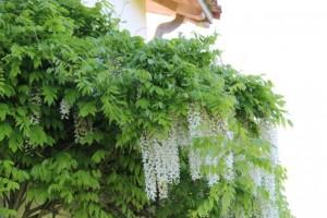 Glicinia blanca florecida sobre una  puerta de entrada / Aceytuno