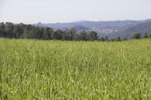 Cereal todavía verde con paisaje de pinar al fondo tapando la ría / Aceytuno